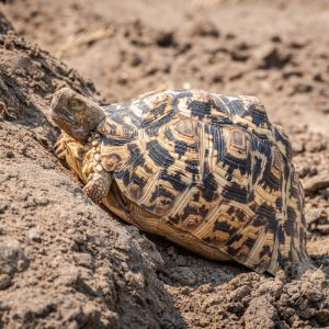 Leopard tortoise trying to climb up a mound of dirt