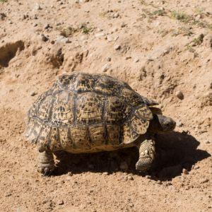 Leopard tortoise walking on dirt