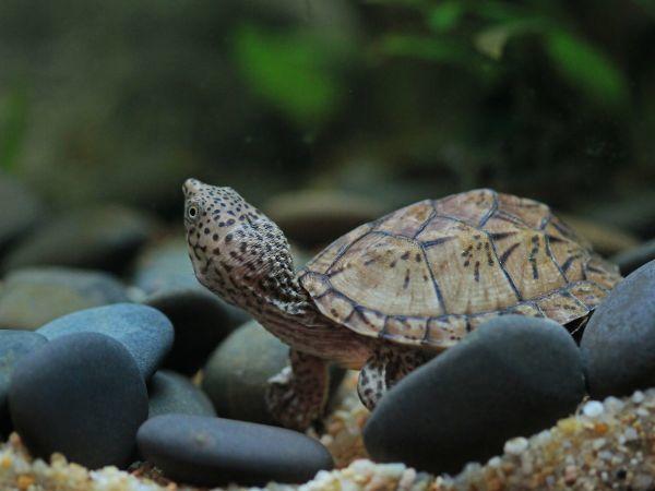 Loggerhead Musk Turtle (Sternothernus_minor)
