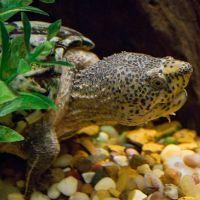 Loggerhead Musk Turtle (Sternothernus_minor) 200x200