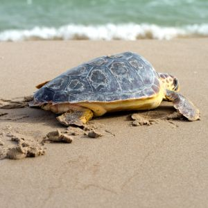 Loggerhead Turtle on beach going into the ocean (Caretta caretta)
