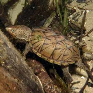 Loggerhead musk turtle swimming in tank (Sternotherus minor)
