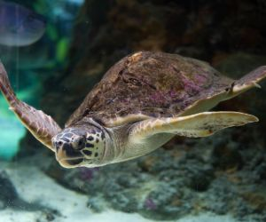 Loggerhead sea turtle (Caretta caretta) swimming in ocean