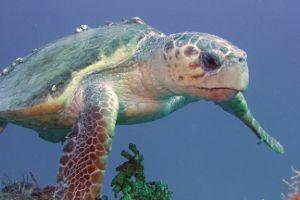 Loggerhead sea turtle with barnicles swimming