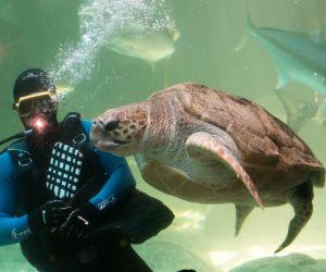 Loggerhead sea turtle with diver