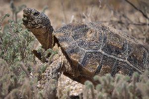 Male Agassiz's Desert Tortoise (Gopherus agassizii)