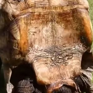 Male Tortoise with concave plastron