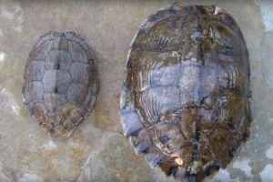 Male and Female Ouachita Map Turtle