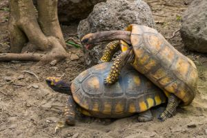Male and female yellow foot tortoise mating