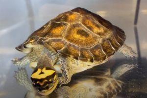Maracaibo Wood Turtle (rhinoclemmys diademata)