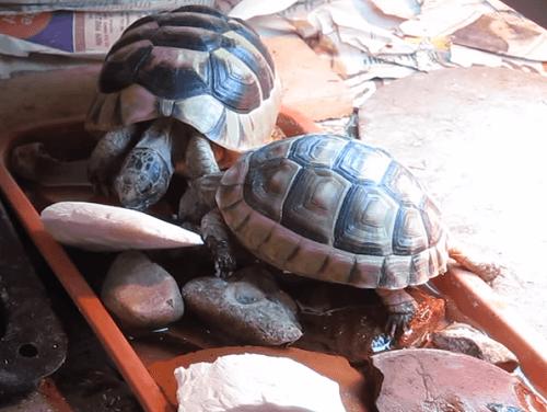 Marginated Tortoise Care Marginated Tortoise Habitat