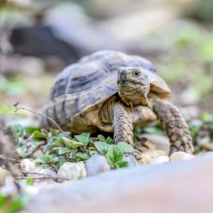 Marginated-Tortoise-looking-out