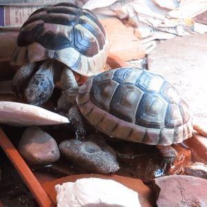Marginated-Tortoises