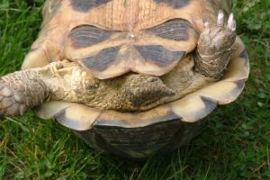 Marginated tortoise tail showing vent on back