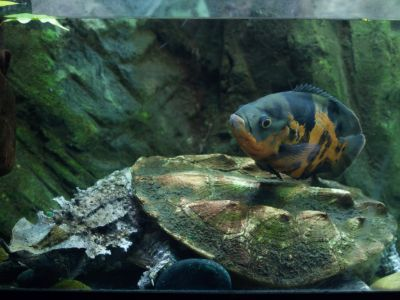 Mata mata turtle in enclosure with fish swimming above its shell