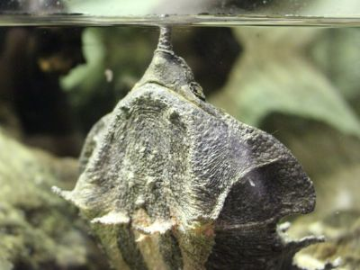 Matamata turtle breathing with neck extended from bottom of tank