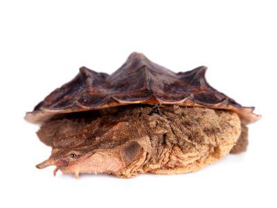Matamata turtle on white background
