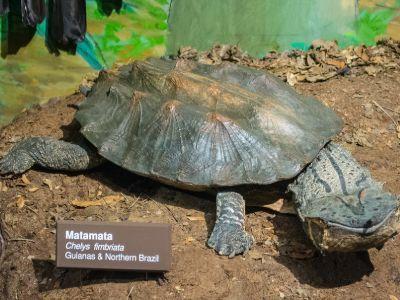 Matamata Turtle (Chelus fimbriata)