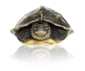 Golden thread turtle in its shell