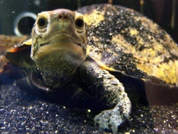 Mauremys japonica (Japanese pond turtle)