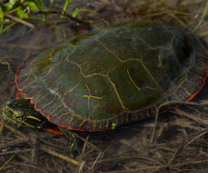 Midland Painted Turtle (Chrysemys picta marginata) found in Clark County, Missouri by Peter Palanus