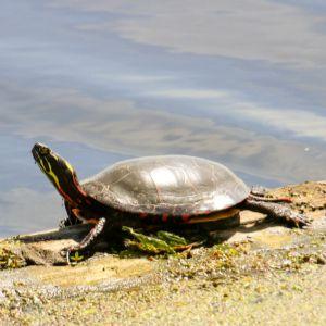 Midland Painted turtle (Chrysemys picta marginata) on shore basking