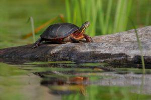 Midland-painted-turtle-basking