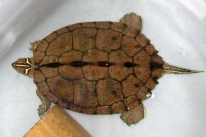 Mississippi Map Turtle (Graptemys pseudogeographica kohnii)