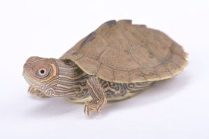 Mississippi Map turtle on white background