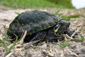Mississippi Mud turtle on ground close up with algae on its shell