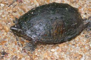 Mississippi mud turtle on gravel