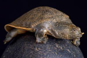 New Guinea giant softshell turtle (Pelochelys bibroni)