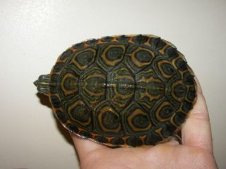 Nicaraguan Slider Turtle (trachemys emolli) top view of shell
