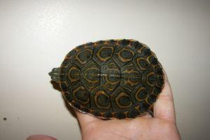 Nicaraguan Slider Turtle (trachemys emolli) with orange and olive colors
