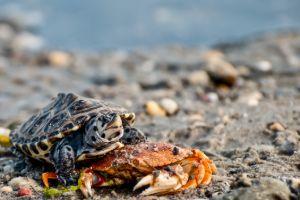Northern Diamondback terrapin (Malaclemys terrapin) on crab