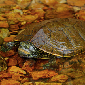 Northern Map Turtle (Graptemys geographica) in Shannon County Missouri by Peter Paplanus