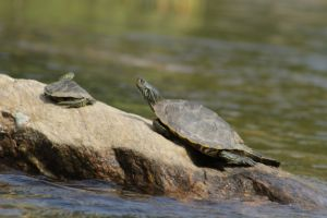 Northern Map Turtle in outdoor pond basking