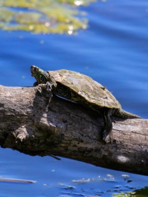 Northern Map turtle basking on downed tree in lake (Graptemys geographica)