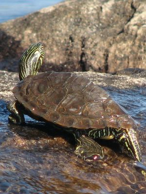 Northern Map turtle in Illinois (Graptemys Geographica)