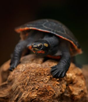 Northern Red-bellied turtle (Pseudemys rubriventris) innature habitat