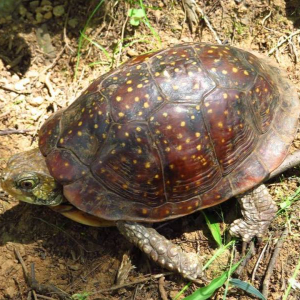 Northern Spotted Box Turtle