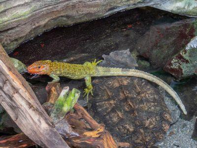 Northern caiman lizard sitting on top of matamata turtle in pond