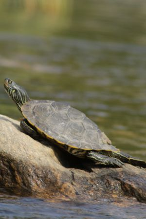 Northern map turtle basking on rock (Graptemys geographica)
