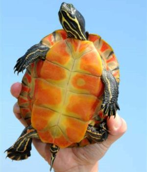 Northern red bellied cooter (Pseudemys rubriventris)