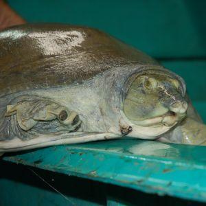 Nubian Flapshell Turtle (Cyclanorbis elegans)