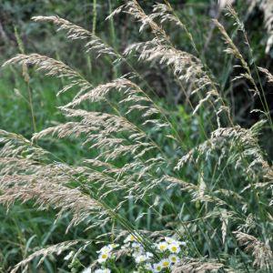 Oat grass (Arrhenatherum Elatiu)