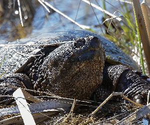 Old Common snapping turtle (Chelydra serpentina) in the conservation wildlife area in Wisconsin