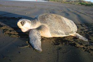 Olive-Ridley-Sea-Turtle