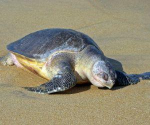 Olive Ridley turtle (Lepidochelys_olivacea) on beach