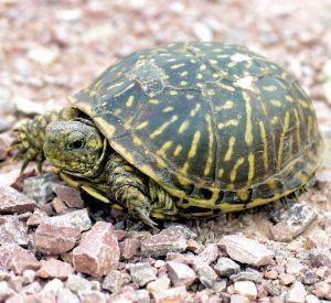 Ornate Box Turtle (Terrapine ornata) on gravel road